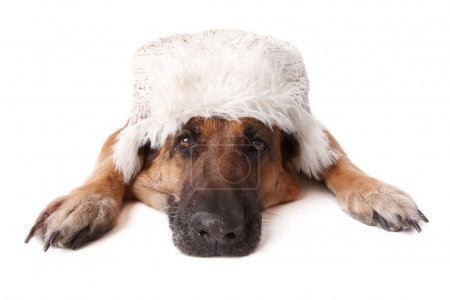 Photo for German shephard dog wearing winter hat laying on white background. - Royalty Free Image