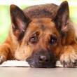German shephard dog looking aside and laying on th...