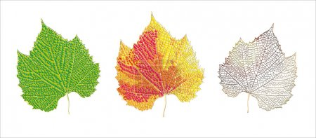 Illustration for Life cycle of leaf - Royalty Free Image