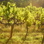 Grape vines back lit in the evening light...