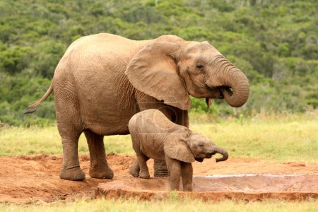 Mother and baby African elephant, South Africa