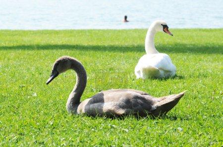 Photo pour Jeune cygne et sa mère sur une pelouse - image libre de droit