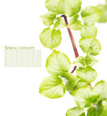 Young green leaves over white background