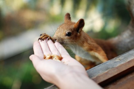 Red squirrel likes nuts and... bisquits...