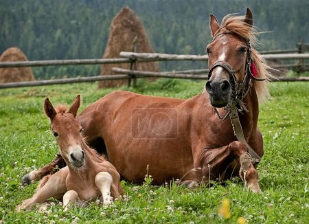 Horse,two horses