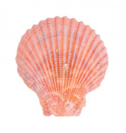 Photo for Sea shell isolated on white background - Royalty Free Image