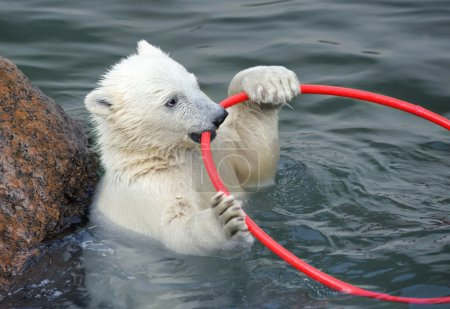 Little white polar bear playing in water