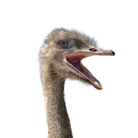 Head of ostrich, it is isolated on the white