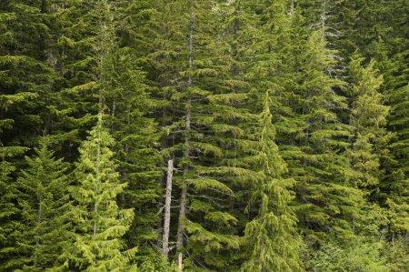 Douglas fir forest green conifers trees