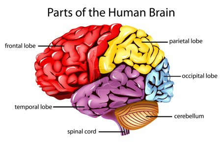 Illustration for Illustration of parts of the brain - Royalty Free Image