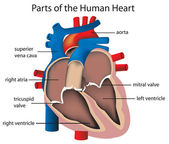 Parts of the heart