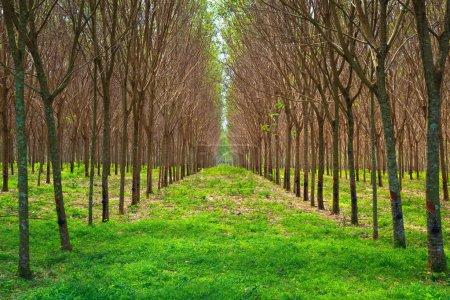 Photo pour Jardin d'arbres en caoutchouc Para dans le sud de la Thaïlande - image libre de droit