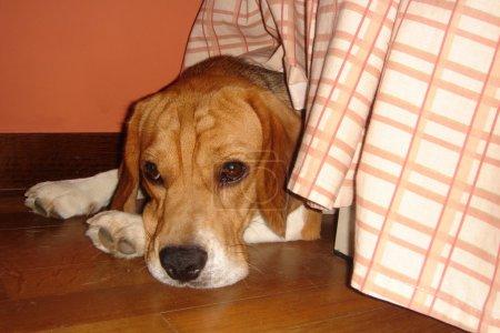 Scared Beagle