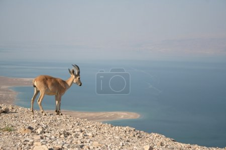 A Female Nubian Ibex stands on the edge of the Dea...