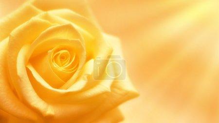 Photo pour Rose jaune sur fond jaune ensoleillé - image libre de droit