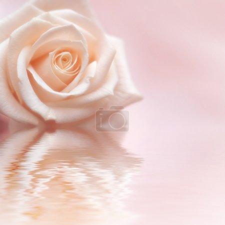 Photo pour Rose rose sur fond rose avec réflexion dans l'eau - image libre de droit