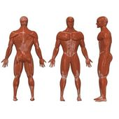 Menschlichen Muskeln