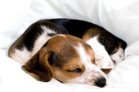 Beagle pup sleeping