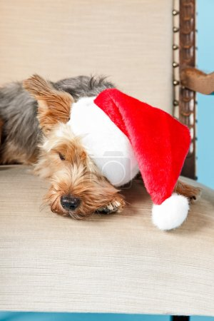 Yorkshire terrier dog.