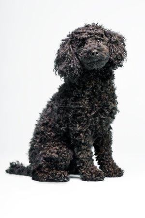 Little black poodle dog.