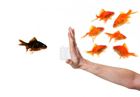 Photo for Hand discriminating black goldfish isolated on withe - Royalty Free Image