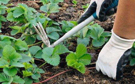 Weeding In Garden