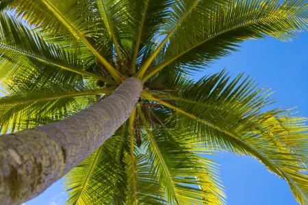 Photo pour Noix de coco vue perspective palmier du sol haut vers le haut - image libre de droit