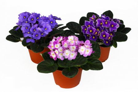Three wonderful violets on a white background...