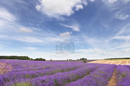 Photo for Lavender field in the Cotswolds with blue sky and whispy clouds - Royalty Free Image