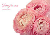 Pink ranunculus flowers isolated on white