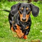 Black dachshund running on the grass...