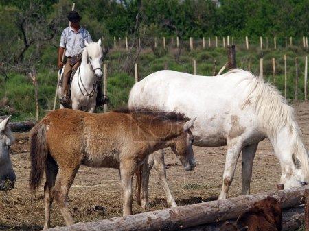 Photo pour Un cow-boy dans le parc national de camargue - image libre de droit