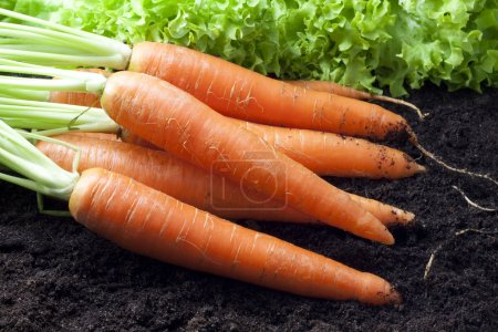 Photo for Carrots organic in the garden - Royalty Free Image