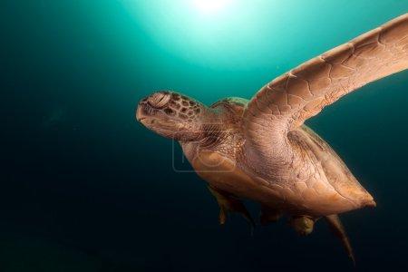 Photo pour Tortue verte dans la mer Rouge - image libre de droit